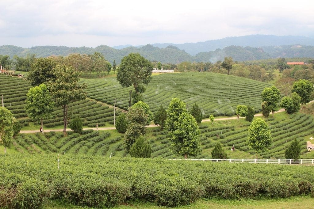 A tea farm in the Golden Triangle region of Northern Thailand.