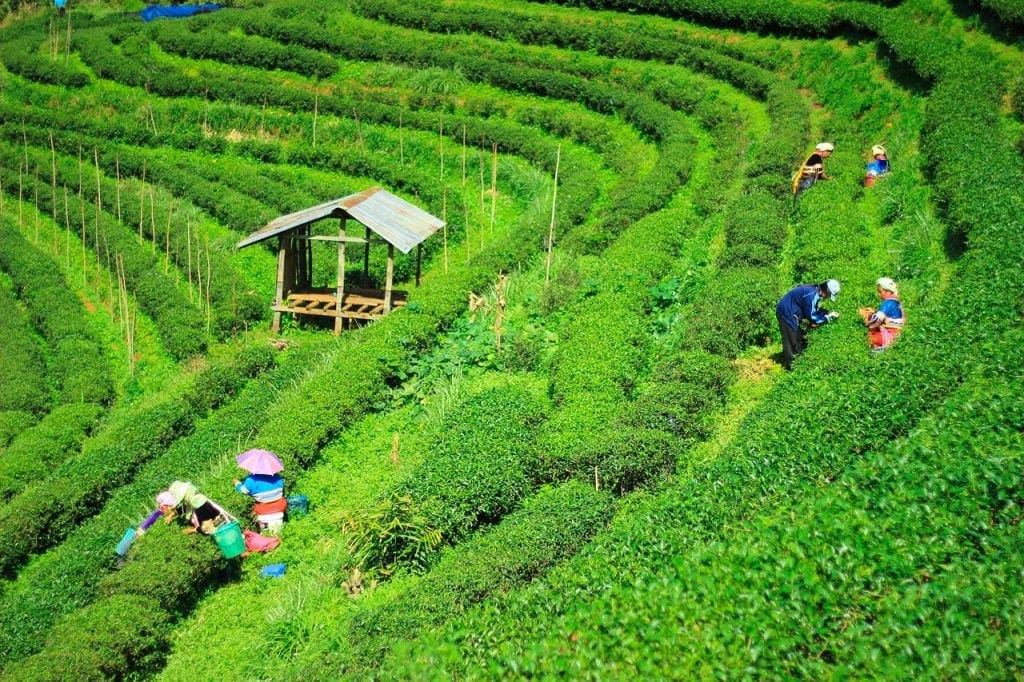 A Thai tea farm in Chiang Mai, Northern Thailand
