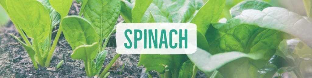 spinach-header