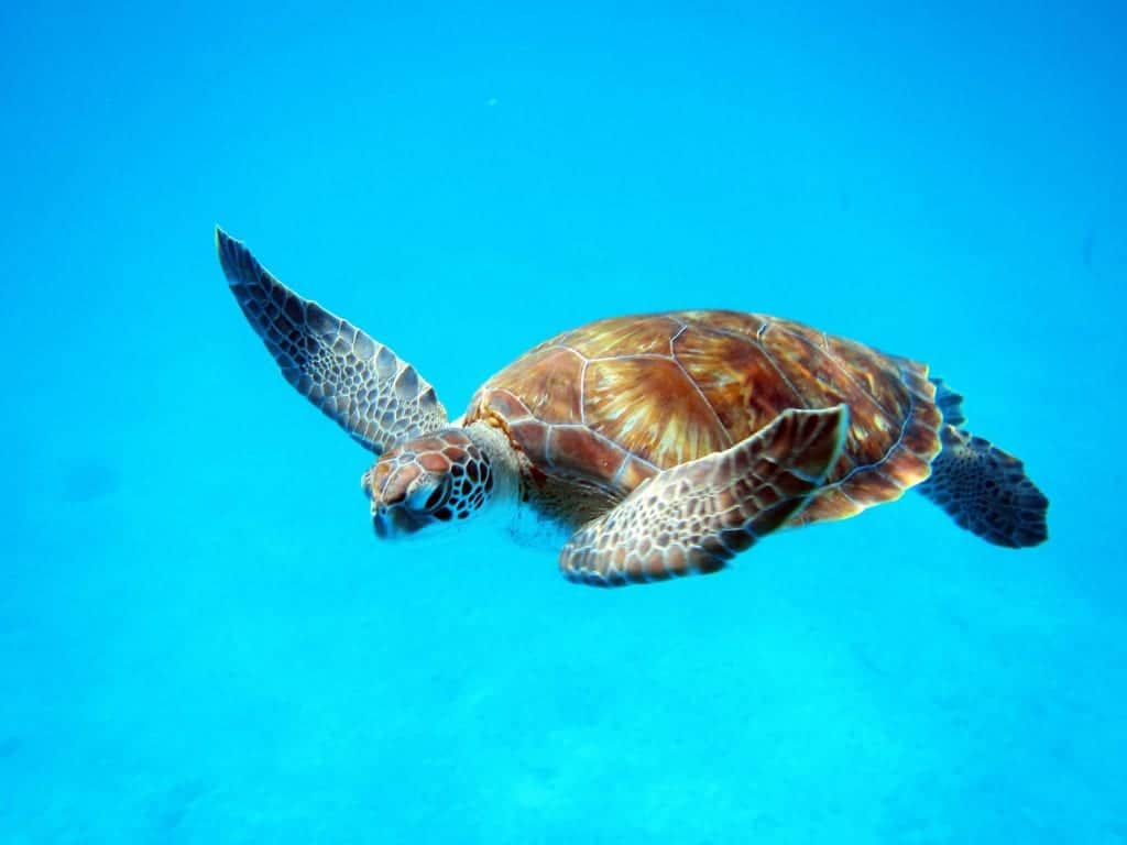 Snorkel in Barbados and get the chance to see turtles