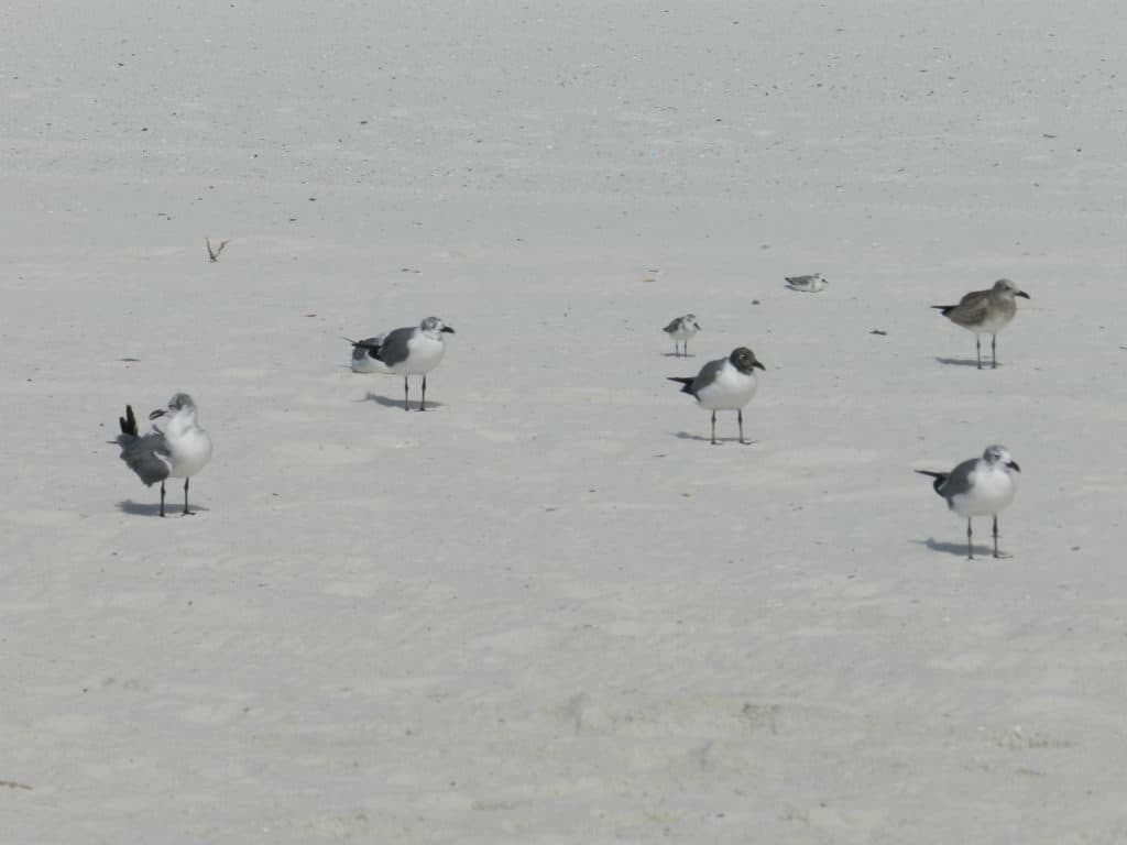 Sand as white as a seagulls breast in Alabama!