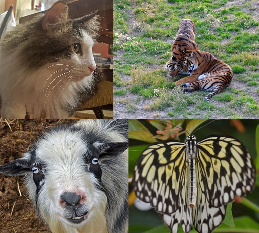 Some of the animals you will see at these 5 animal encounters near Denver. Cat, Tigers, Goats, Butterflies.