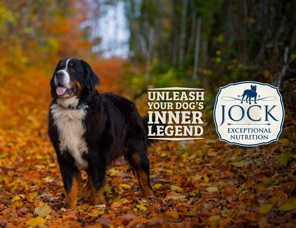 Know your breed: Bernese Mountain Dog