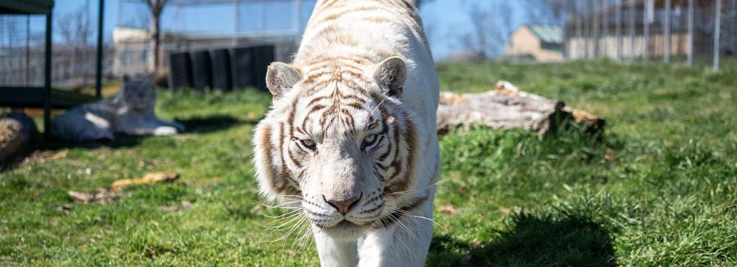 Blackfire White Tiger