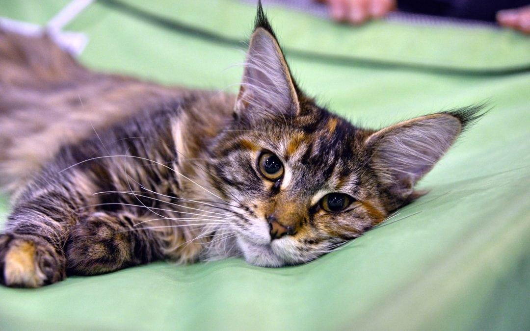6 of the Friendliest Cat Breeds