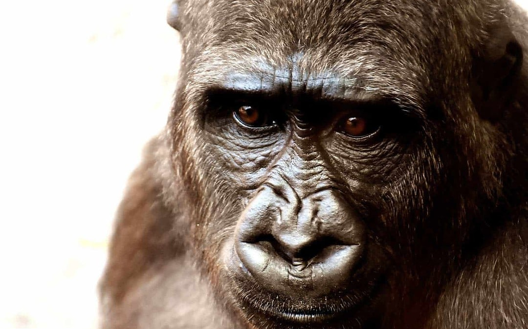 World's most endangered gorilla fights back