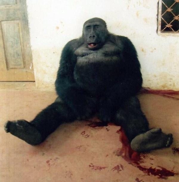 Cross River Gorilla Silverback Slaughtered in Cameroon