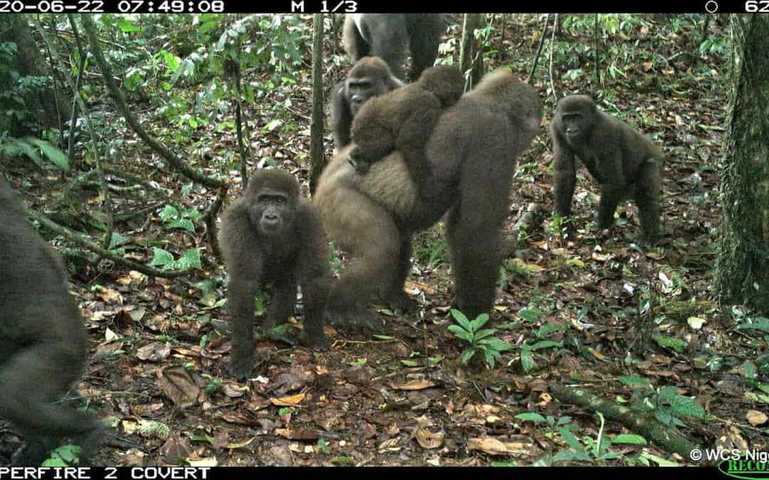 Cross River gorilla, camera trap images, Nigeria