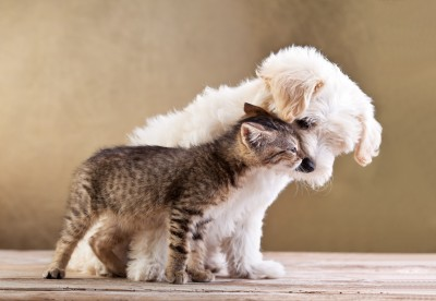 maltese puppy and kitten get along well