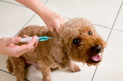 THE worst vaccine for your small dog