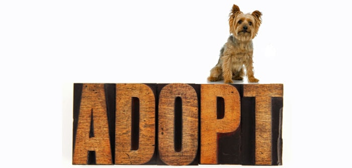 adopt a morkie featured image