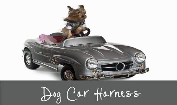 A little Morkie dog, pretending to drive a toy size Mercedes convertible.