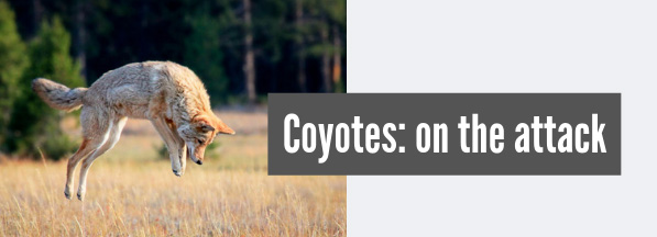 Coyote attacks and your dog