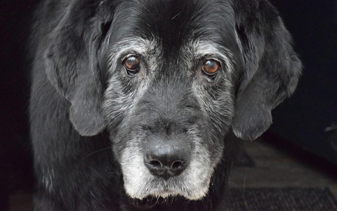 Osteoarthritis in Dogs: Pain control 101