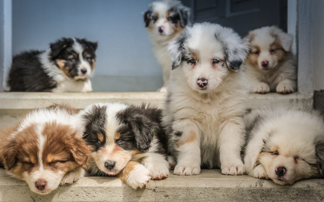 What Age are Puppies Ready to Be Adopted?