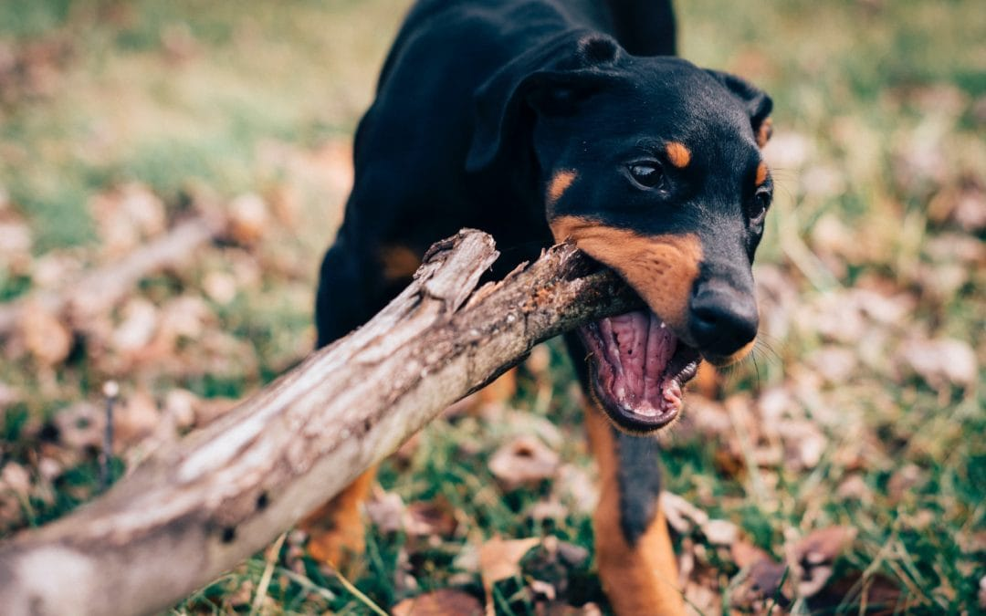 broken teeth in dogs due to sticks, bones or oral trauma are an emergency.