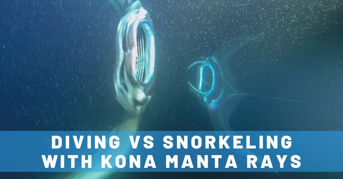 Manta Ray Dives of Hawaii: Night Diving vs. Snorkeling