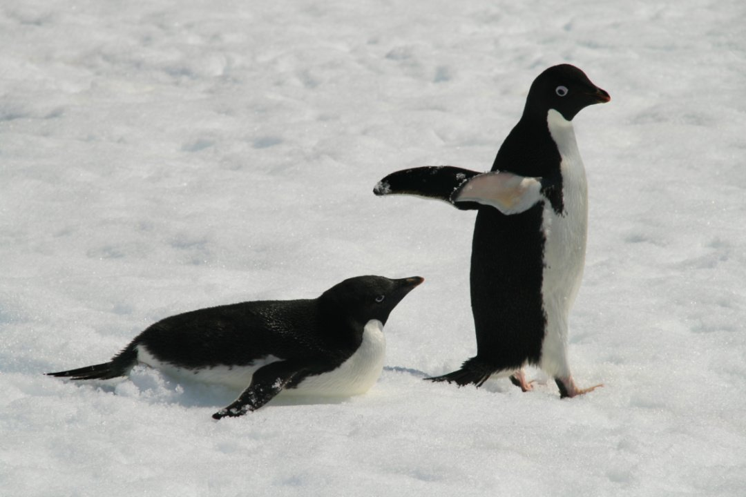 Adelie Penguins in Antarctica - The Nomadic Vegan