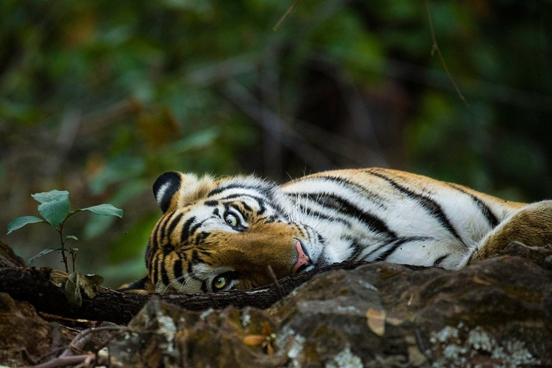 Ranthambhore - Tigers in the Wild