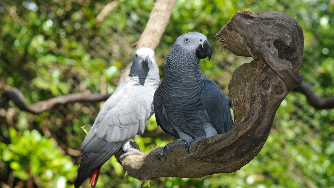 Loro africano gris