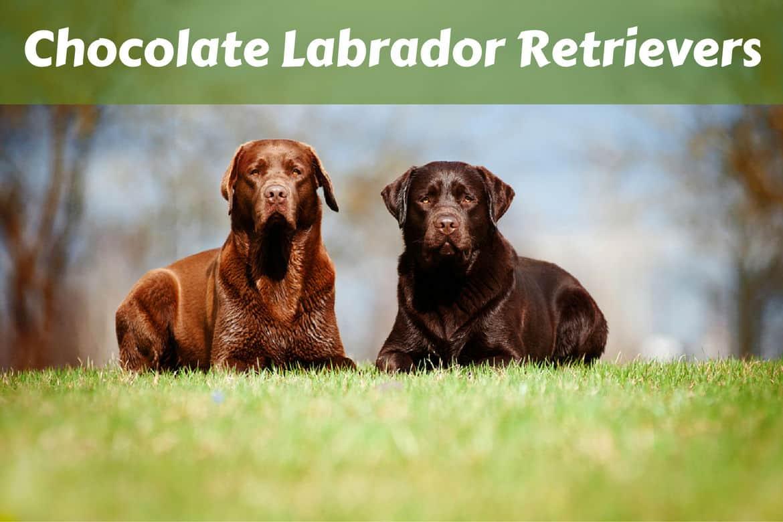 2 different shade chocolate labrador retrievers lying on grass