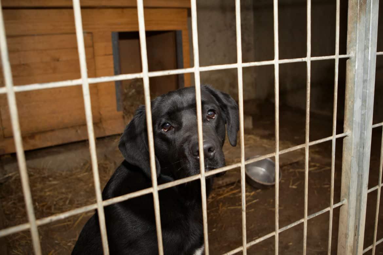 A sad looking Labrador in a crate
