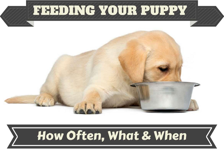 A Labrador puppy feeding from a metal bowl