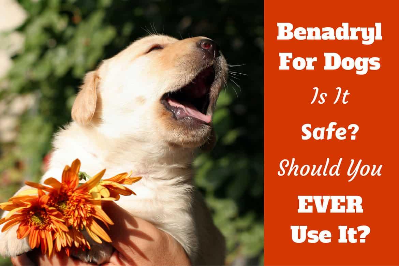 Benadryl for dogs written beside a puppy sneezing over a flower