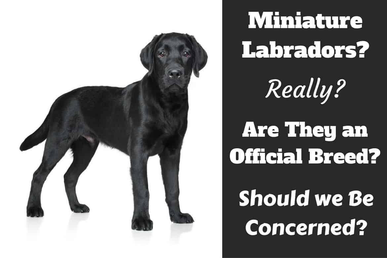 Miniature labradors, do they exist written beside a labrador puppy