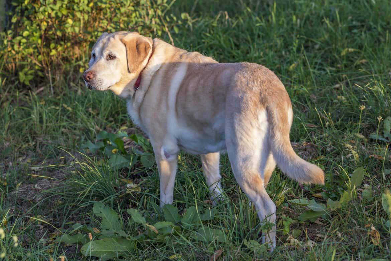 Yellow Labrador looking like it's ignoring being called, walking away on grass