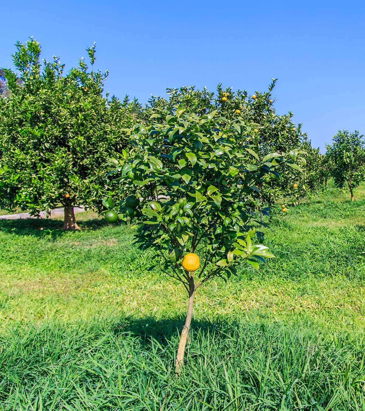 ugli fruit tree