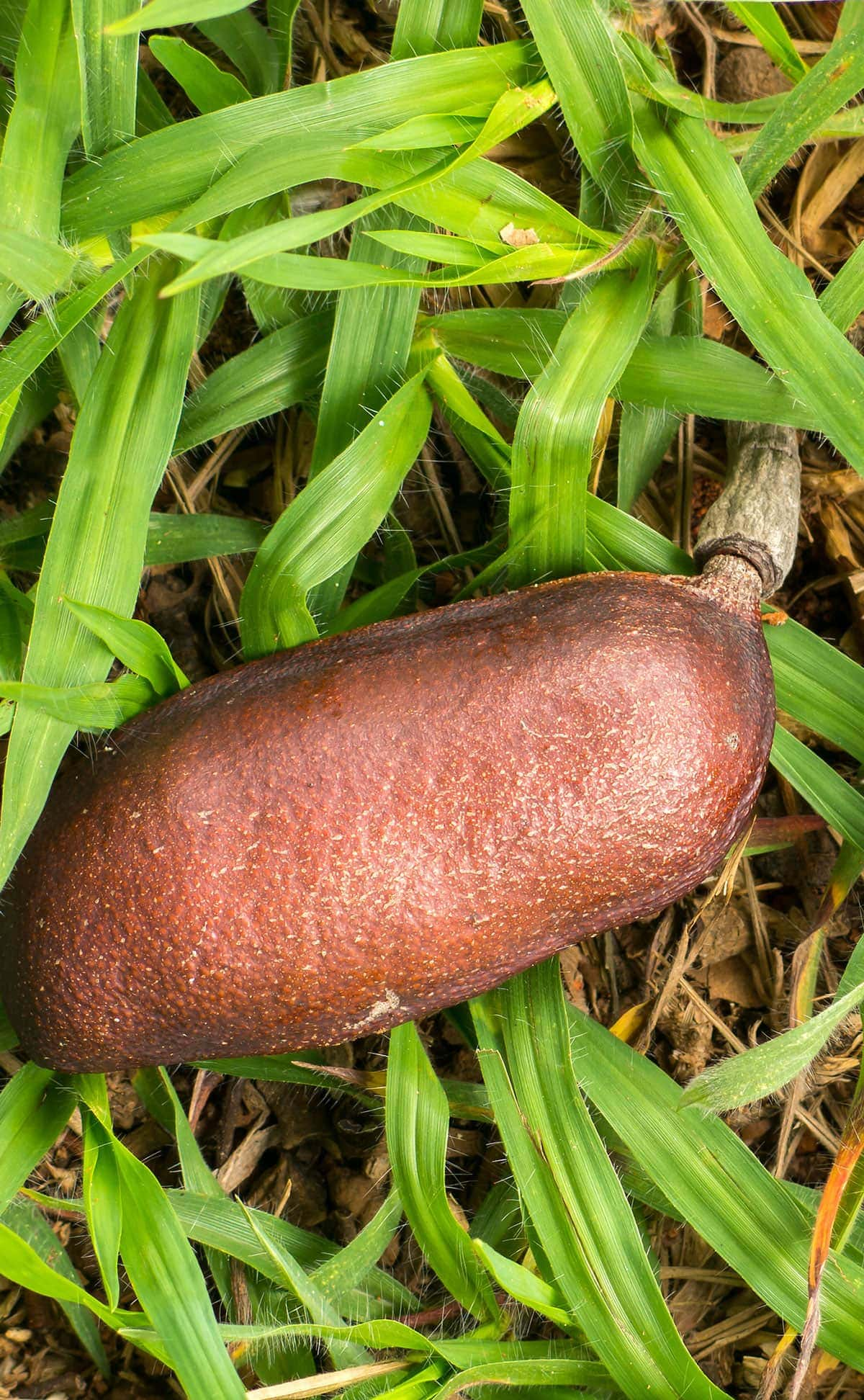 stinking toe fruit in grass