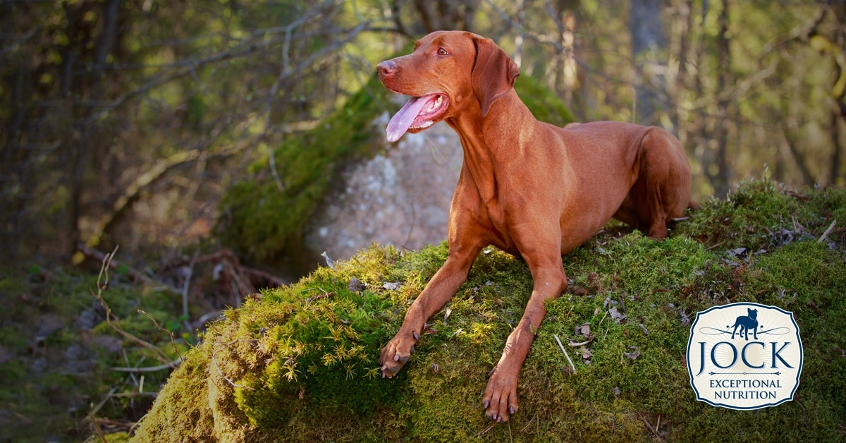 Know your breed: Vizsla