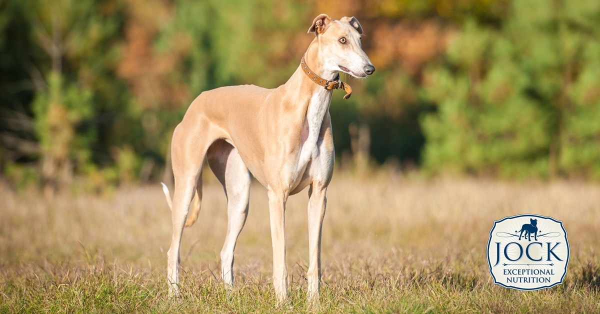 Know your breed: Greyhound