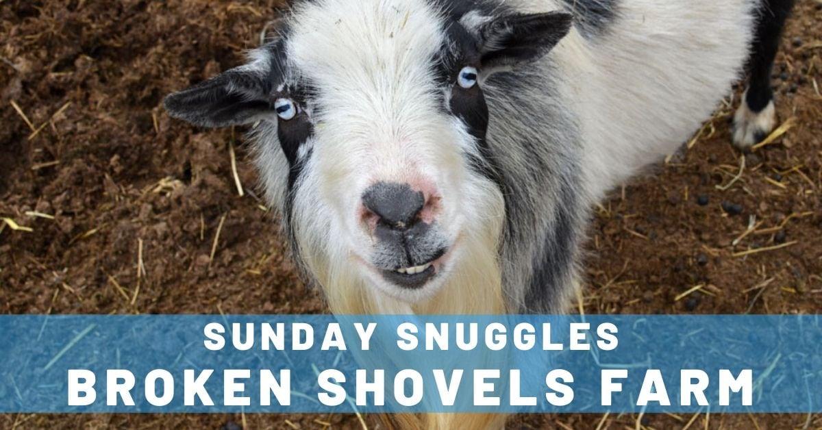 Sunday Snuggles at Broken Shovels Farm