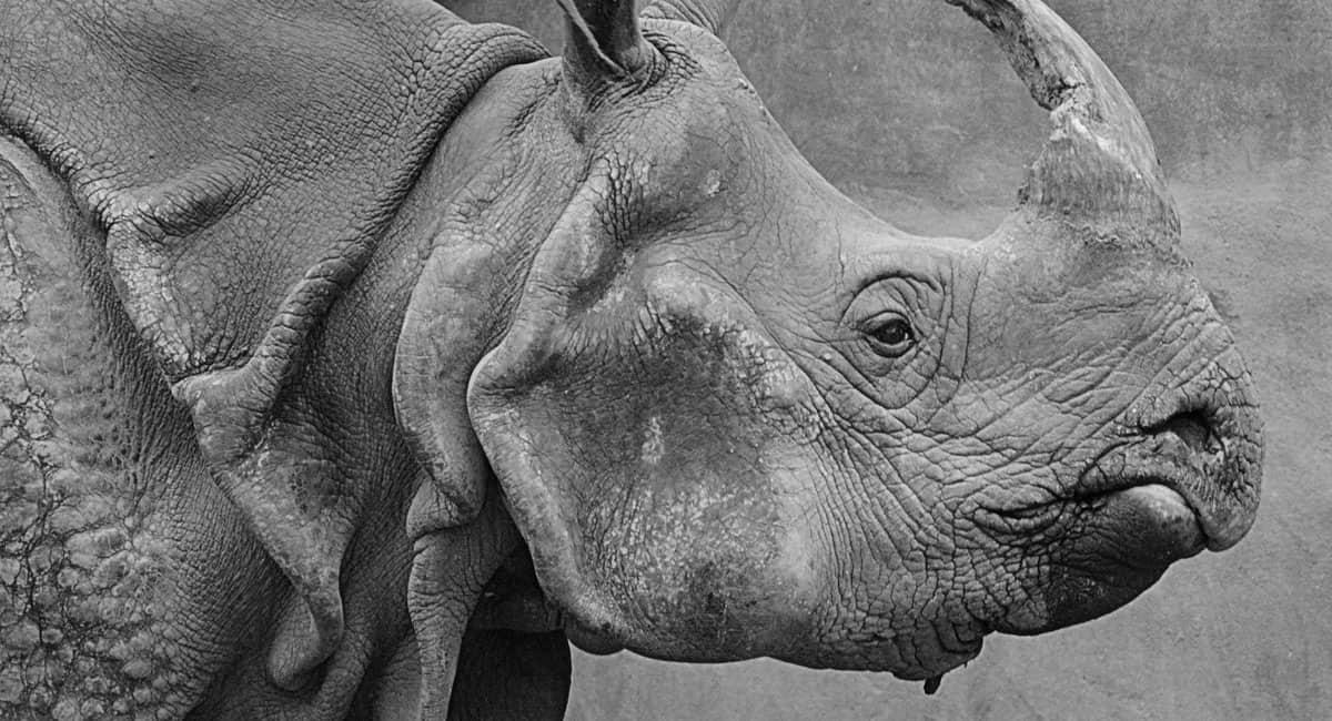 Closeup of black rhino