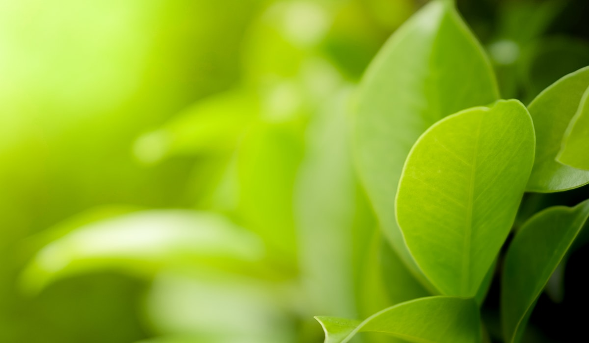 Close Up Beautiful View Of Natural Green Leaves On Greenery Blurred Background And Sunlight In Public Garden Park