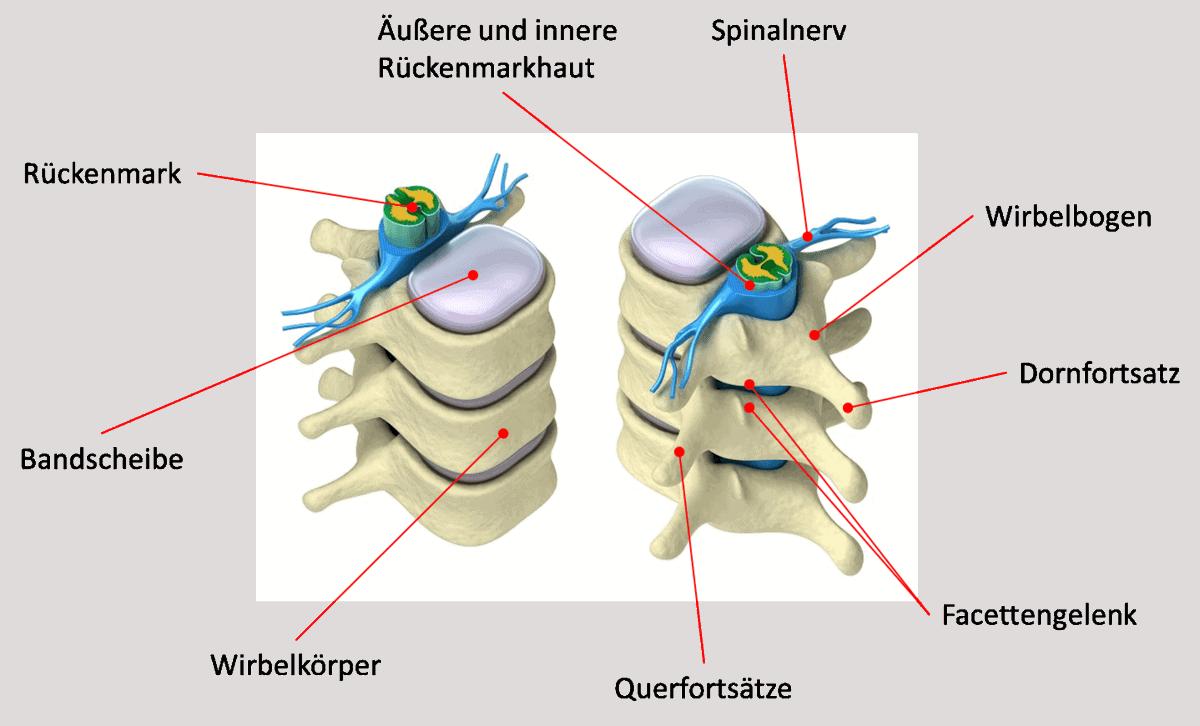 Die Darstellung zeigt Wirbel, das Rückenmark, den Spinalnerv und die Bandscheibe