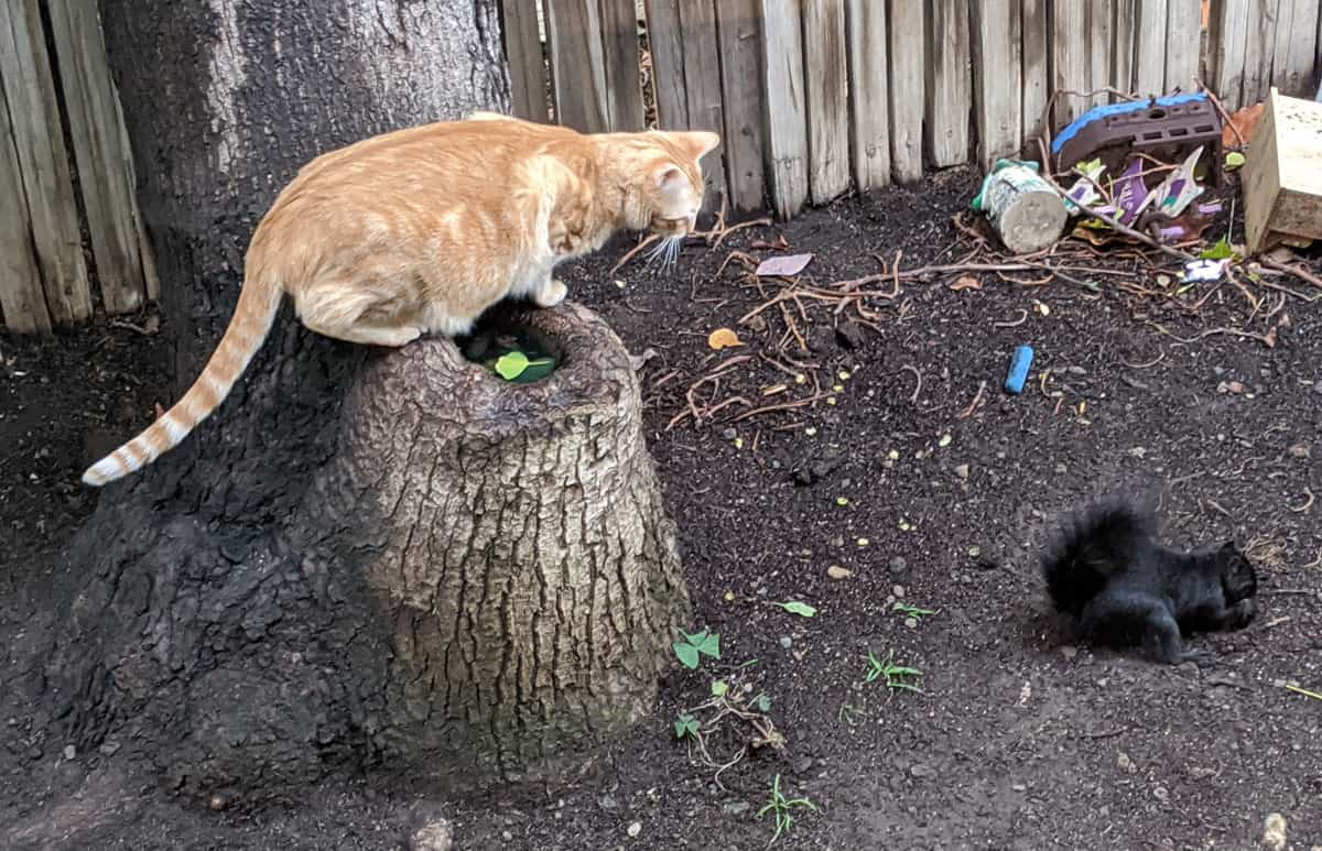 An orange tabby looking at a black squirrel.