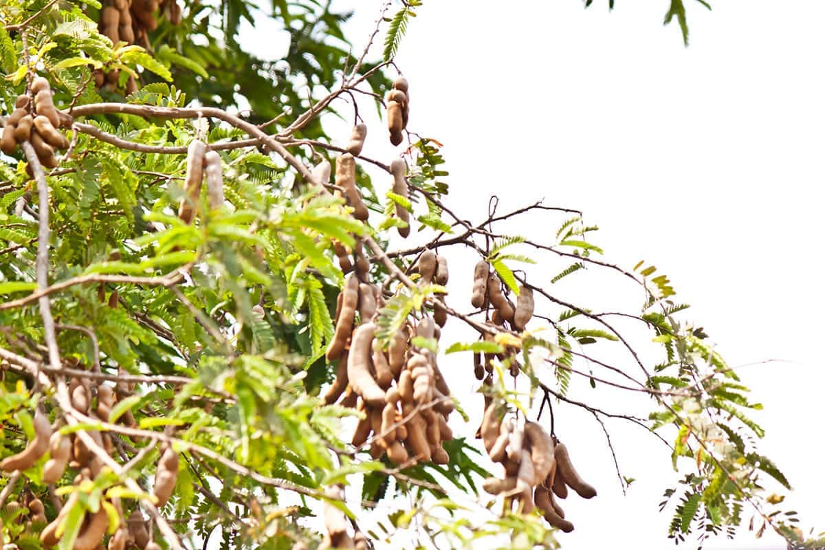 tamarind tree for making tamarind balls