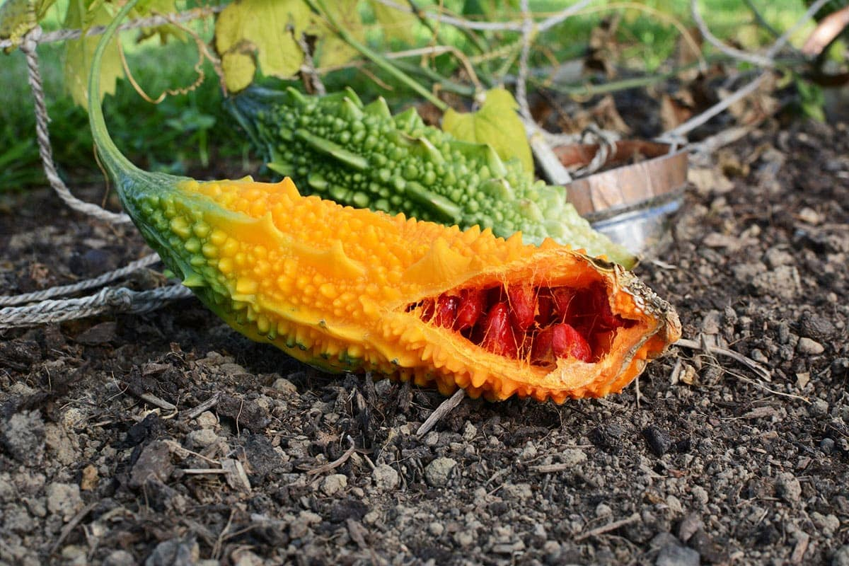 Bittermelon fruit