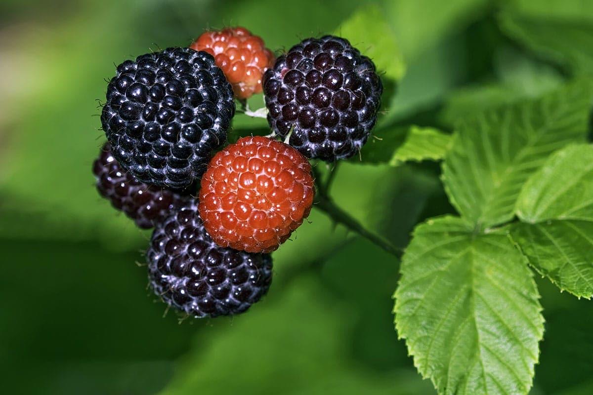 Black raspberries on raspberry bush