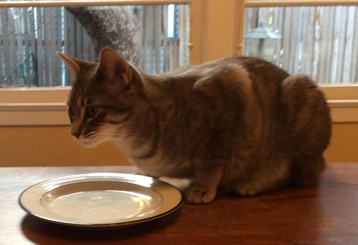 A gray tabby sitting in front of an empty white plate on a table.