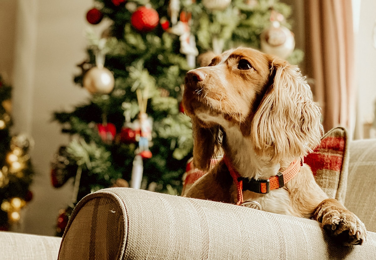 christmas dog nathan mcdine unsplash