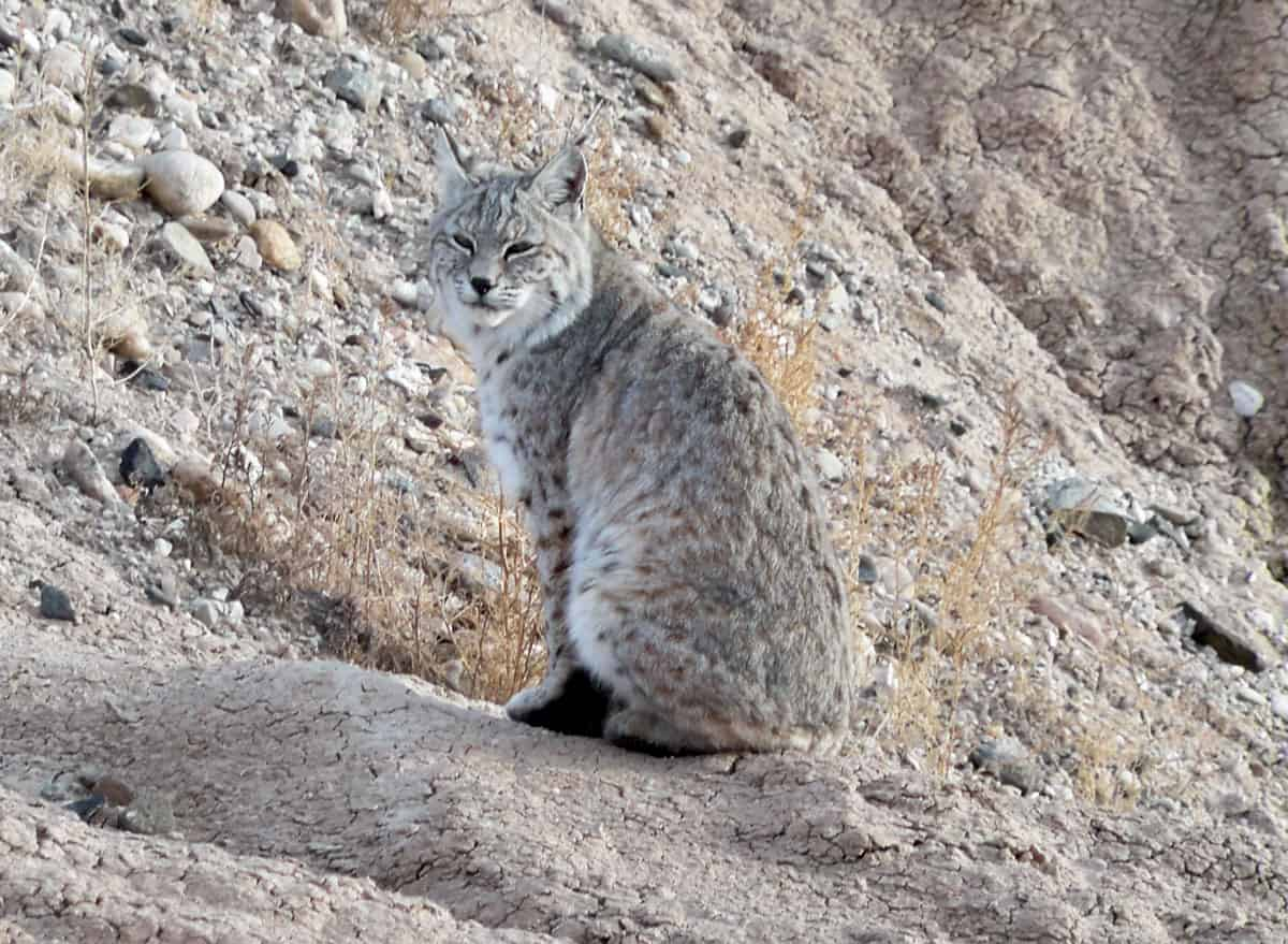 Bobcat, Badlands National Park.  Photo: Teri Stoia, NPS, public domain.