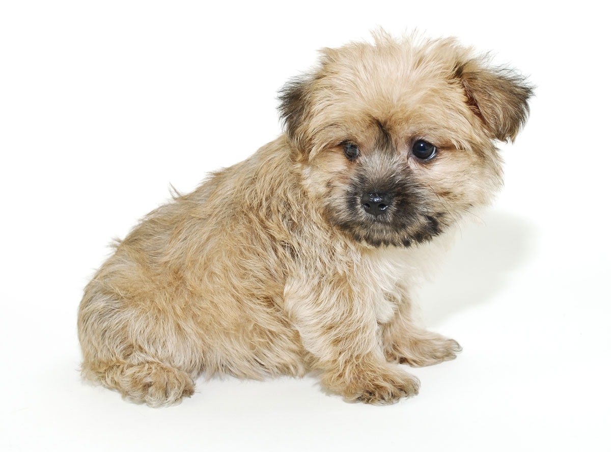 How big will my morkie get? Picture of a morkie puppy