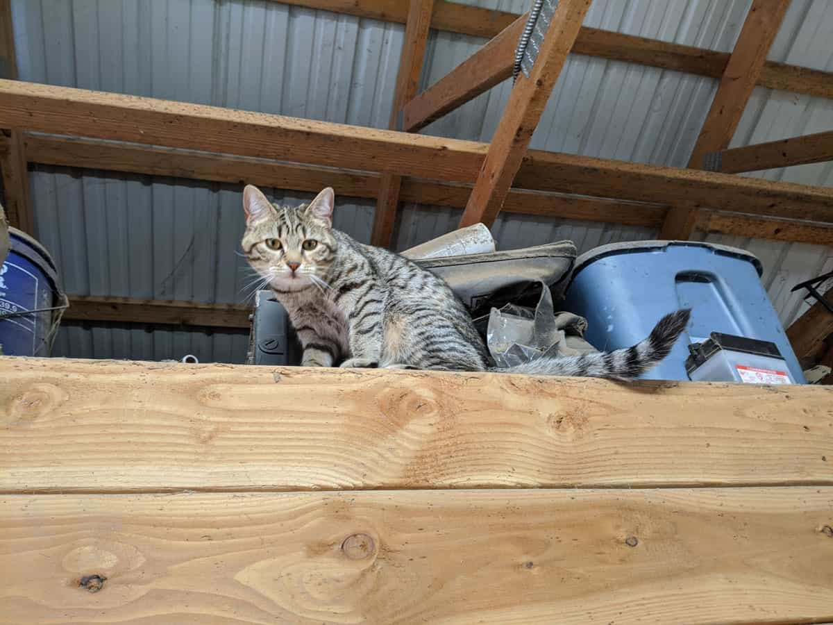 A barn cat looks down from a ledge.