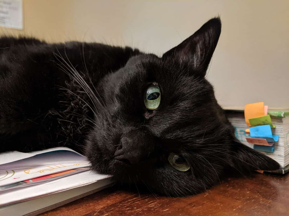 Picture of the head and shoulders of a black cat lying on a table.