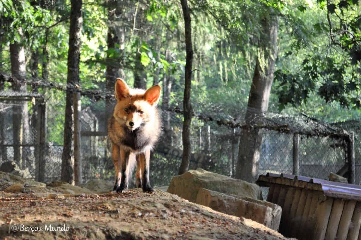 raposa no Parque Biológico de Vinhais