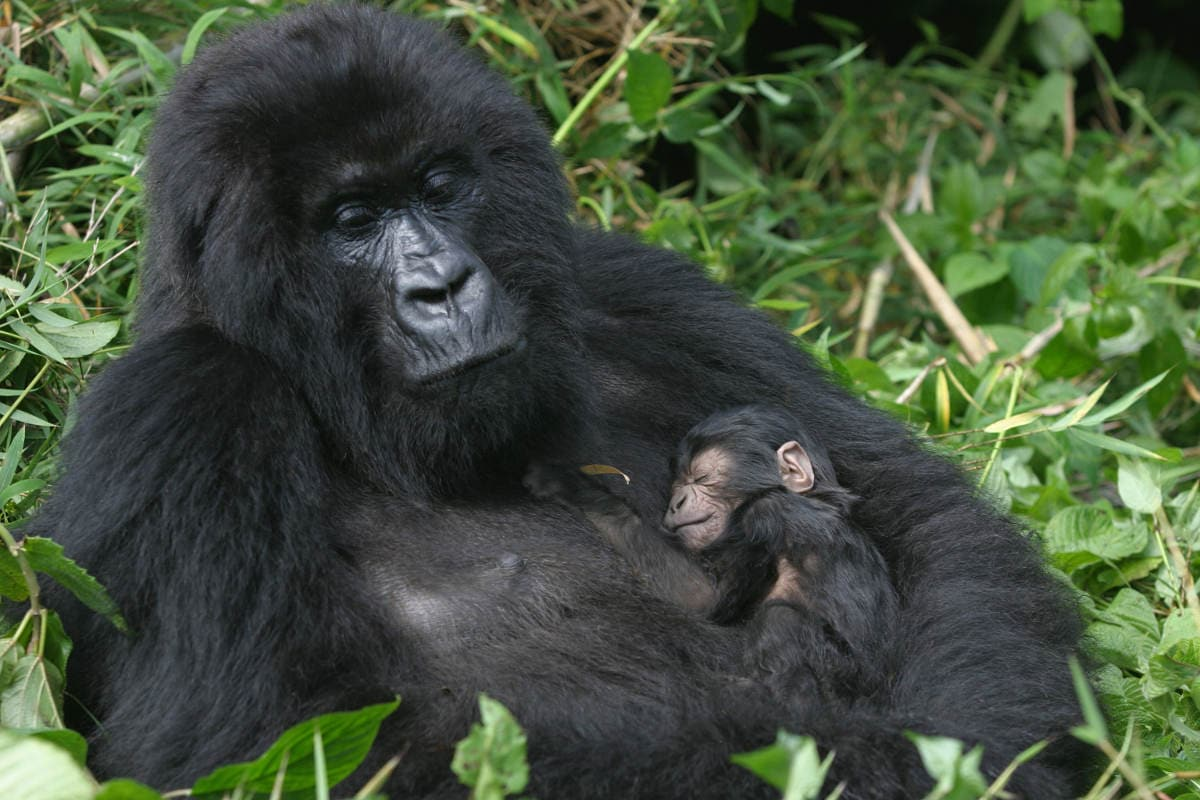 Importance of Ecotourism for Gorilla Conservation